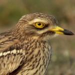 طائر الكروان الصحراوي من عائلة الطيور الشمالية