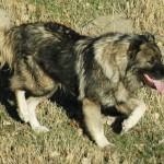 كلب اوفتشاركا المشهور بـ كلب الراعي القوقازي