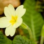 فوائد زيت زهرة الربيع المسائية