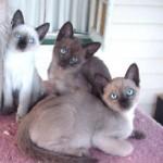 صور ومعلومات عن قط تونكينيز
