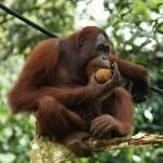 انسان الغاب .. يتواجد في الغابات المطيرة من بورنيو وسومطرة