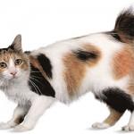 قط ياباني قصير الذيل ... سلاله من القطط المنزلية