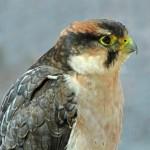 الصقر الحر كبير الطيور الجارحة