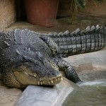 Saltwater crocodile - 84803