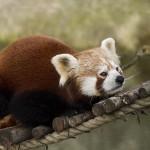 الباندا الاحمر ... تسمى أيضا الباندا الاصغر