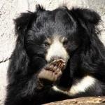 الدب الكسلان ... هو نوع من أنواع الدببة البرية