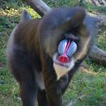 قرد الماندريل من القرود الضخمة