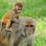 القرد مكاك ريسوسي
