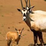حيوانات مهددة بالانقراض في السعودية