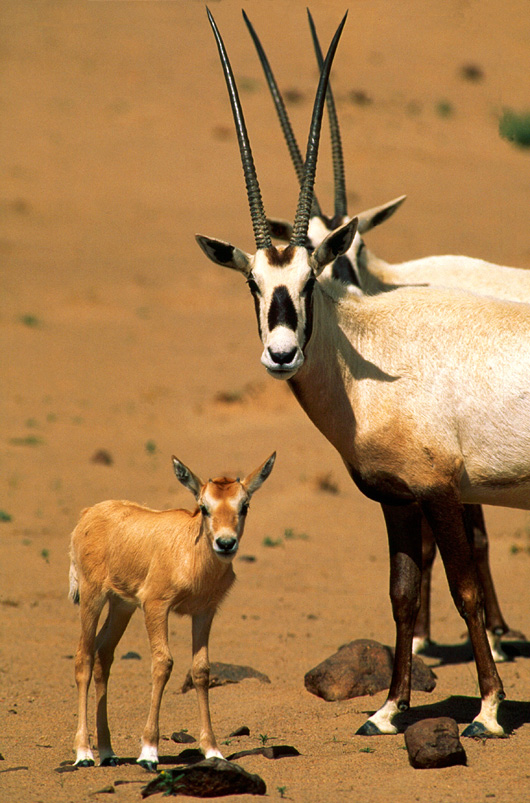 حيوانات مهددة بالانقراض في السعودية المرسال