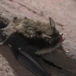 خفاش السند