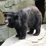 الدب الاسيوي الاسود ...  المعروف ايضا باسم دب القمر