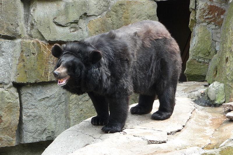 Ussuri Brown Bear Vs Grizzly الدب الاسود�...