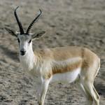 حيوانات مهددة بالانقراض في الامارات