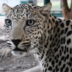 صور و معلومات عن النمر العربي
