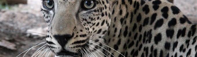 صور و معلومات عن النمر العربي   المرسال