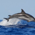 صور ومعلومات عن الدلفين المخطط