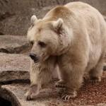 معلومات عن الدب البني السوري