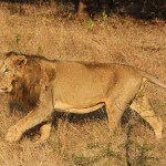 Asiatic lion - 117178