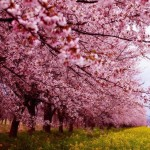 Cherry blossoms in pink - 112494