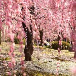 أشجار الكرز في الربيع - 112495