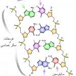 الحمض النووي الريبوزي - 118073