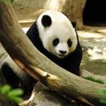 معلومات عن الباندا العملاقة