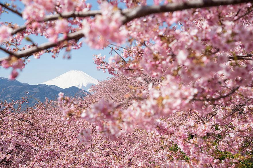 https://www.almrsal.com/wp-content/uploads/2014/04/Jabanies-blossom-sakura.jpg