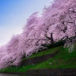 Sakura trees - 112498