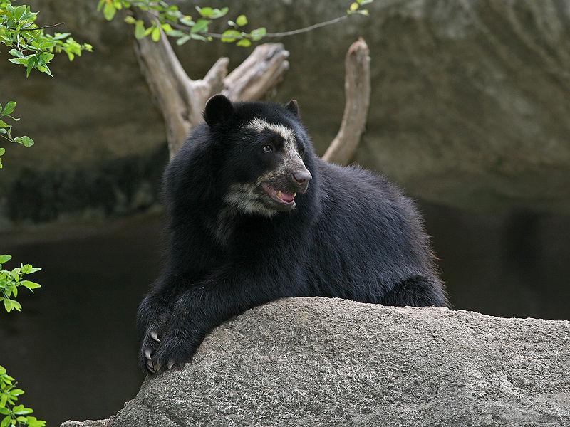 الدب نظارة