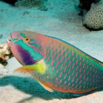The Parrotfish - 109629