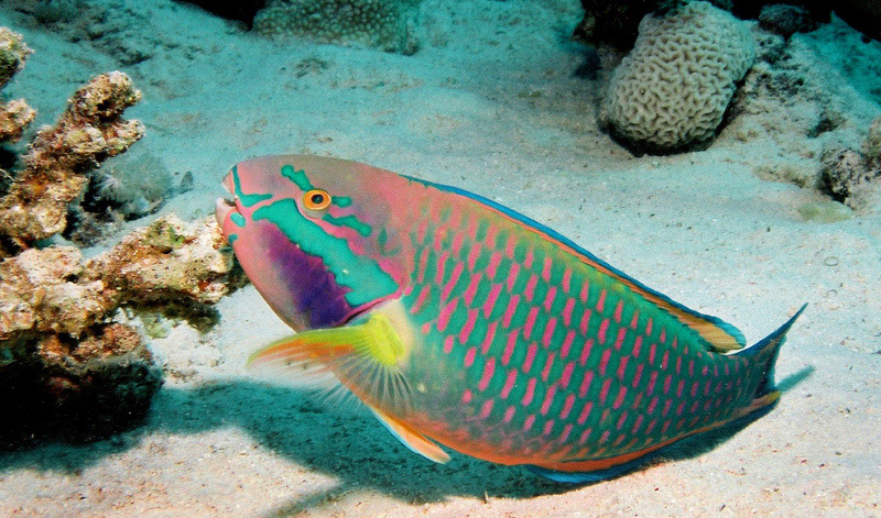 The Parrotfish