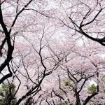 أزهار بيضاء من أشجار الكرز - 112501