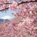cherry blossom - 112493