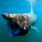 معلومات عن القرش الفرح ... القرش المتشمس