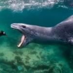 معلومات عن نمر البحر