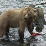 معلومات عن الدب كودياك