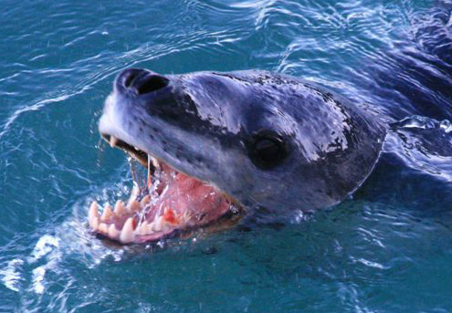 Leopard Seal صور نمر البحر    Photos Tiger  sea