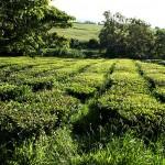 حقول الشاي الاخضر