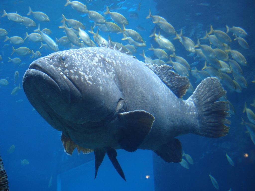 Giant Goliath Grouper Fish Silhouette Www Picsbud Com