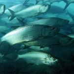 معلومات عن سمك الطربون