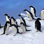 معلومات عن البطريق اديلي