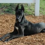 معلومات عن الكلب الدنماركي الضخم