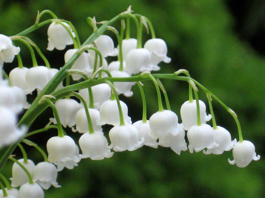 معلومات عن زنبق الوادي Lily-of-the-Valley-Small-flowers