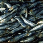 السردين Sardines - 135660