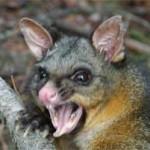 معلومات عن بوسوم ... possum