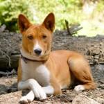 معلومات عن كلب باسنجي