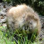 معلومات عن فأر المسك