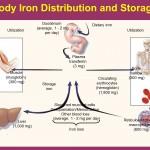 اهمية الحديد للجسم