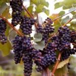 زراعة العنب الاحمر